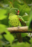 Beautiful green parrot Finsch's parakeet, Aratinga finschi, bird in the forest habitat Royalty Free Stock Photo