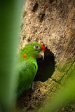 Beautiful green parrot Finsch's parakeet, Aratinga finschi. Parrot bird in the forest habitat. Parrot sitting Royalty Free Stock Photography