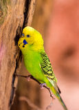 Beautiful green parrot lovebird Royalty Free Stock Image