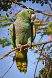 Beautiful green parrot in the rainforest , Yasuni Stock Photos