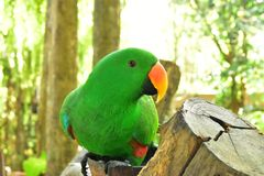 The Beautiful Green Parrot on the wood log stock photography
