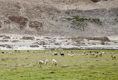 Beautiful green pasture and Changthangi goats of Ladakh Royalty Free Stock Photos