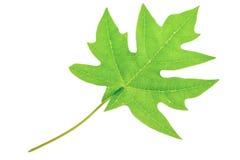 A beautiful green pawpaw or papaya leaf Royalty Free Stock Photo
