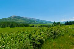 A Beautiful Green Peaceful Meadow. A beautiful, peaceful green meadow in Crested Butte Colorado, with mountains in the distance. Virtually all blue skies with a stock photo