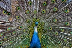 Beautiful green peacock with spread tail-feathers stock image