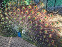 Beautiful green peacock with tail in the zoo. View Stock Images