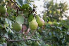 Beautiful green pears Stock Image