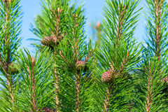 Beautiful green pine branches and cones Stock Image