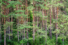 Beautiful green pine forest scene. Beautiful green dense pine forest scene Stock Photos