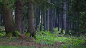 Beautiful green pine forest in windy Stock Photos