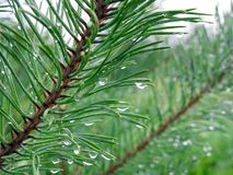 Pine tree branch with water drops, Lithuania royalty free stock image