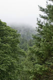 Beautiful green pine trees, foggy day, Europe, England. Stock Photos