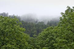 Beautiful green pine trees, foggy day, Europe, England. Stock Images