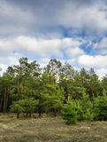 Beautiful green pine trees in spring forest with clouds. Spruce Royalty Free Stock Images