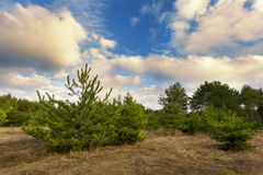 Beautiful green pine trees in spring forest with clouds. Spruce. Beautiful green pine trees in spring forest with clouds at sunset. Spruce, fir tree. Ukraine Royalty Free Stock Photos