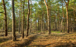 Beautiful green pine trees in spring forest at sunset. Spruce Royalty Free Stock Photo