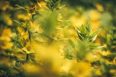 A beautiful yellow plant with upright leafs. A beautiful green plant with upright leafs Stock Image
