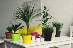 Beautiful green plants in colorful pots. On wooden table royalty free stock images