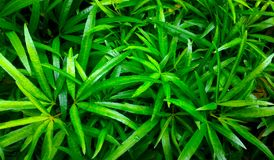 Long and pointy leaves. Beautiful green pointy leaves of ornamental plants, garden, tropical plants royalty free stock photo