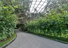 Beautiful green pole bean tunnel Royalty Free Stock Image
