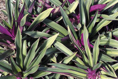 Beautiful Green and Purple Plant Royalty Free Stock Images