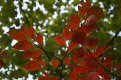 Red leaf in fall. Beautiful green and red leaf in fall Royalty Free Stock Photography