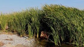 Beautiful green reeds. stock video