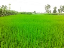 Beautiful green rice crop field. Royalty Free Stock Image
