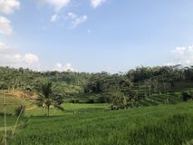 Beautiful green rice field in Karanganyar city. royalty free stock image