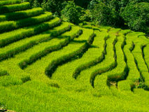 Beautiful green rice fields royalty free stock images