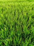Beautiful green rice fields in Bali. stock photo