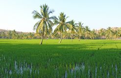 Beautiful green rice fields in Hampi, India. Palm trees, sun and. Rice fields. Exotic tropical landscape. Meditation and pacification Royalty Free Stock Image