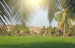 Beautiful green rice fields in Hampi, India. Palm trees, sun and. Rice fields. Exotic tropical landscape. Meditation and pacification royalty free stock photography