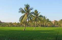 Beautiful green rice fields in Hampi, India. Palm trees, sun and. Rice fields. Exotic tropical landscape. Meditation and pacification royalty free stock photo