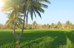 Beautiful green rice fields in Hampi, India. Palm trees, sun and. Rice fields. Exotic tropical landscape. Meditation and pacification royalty free stock images