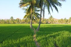 Beautiful green rice fields in Hampi, India. Palm trees, sun and. Rice fields. Exotic tropical landscape. Meditation and pacification. A dog among the rice royalty free stock photo