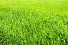 Beautiful green rice fields Stock Photography