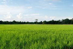 Beautiful Green rice filed and blue sky Stock Images