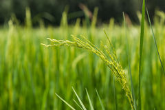 Beautiful green rice plant in rice field,Thailand. Royalty Free Stock Images