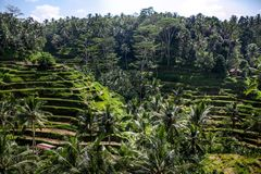 Beautiful green rice terraces in the day light near Tegallalang village, Ubud, Bali, Indonesia. royalty free stock photo