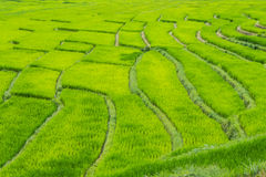 Beautiful green Rice Terraces in Doi inthanon, Maeglangluang Stock Images