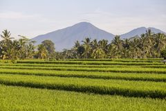 Beautiful green rice terraces, volcano and coconut palm trees in morning on Bali, Indonesia Stock Photo