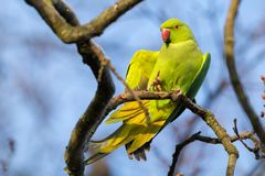 A Beautiful Green Ring Necked Parakeet Stretches on a Branch in stock photos