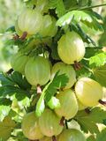 Green gooseberry on bush branches in garden, Lithuania Stock Images