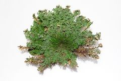 Rose of Jericho on a white background royalty free stock photo
