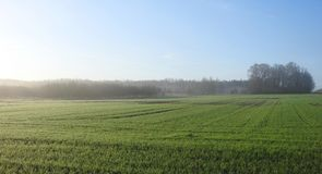 Rye plants  field and mist in morning , Lithuania Stock Images