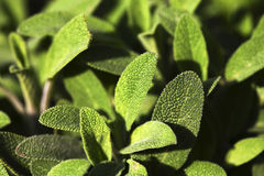 Beautiful green sage Royalty Free Stock Images