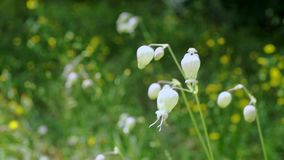 Bladder campion in a windy day. Beautiful green spikes of wall barley -hordeum murinum - it`s a bright and windy day , macro stock footage