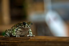 beautiful green spotted frog royalty free stock images