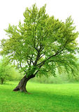 Beautiful green spring tree with fresh leaves Stock Images